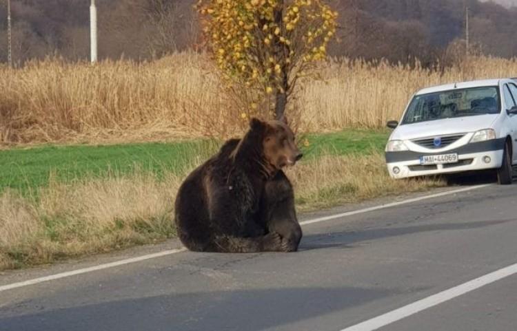 Több mint fél napig szenvedett egy elütött medve Szovátánál