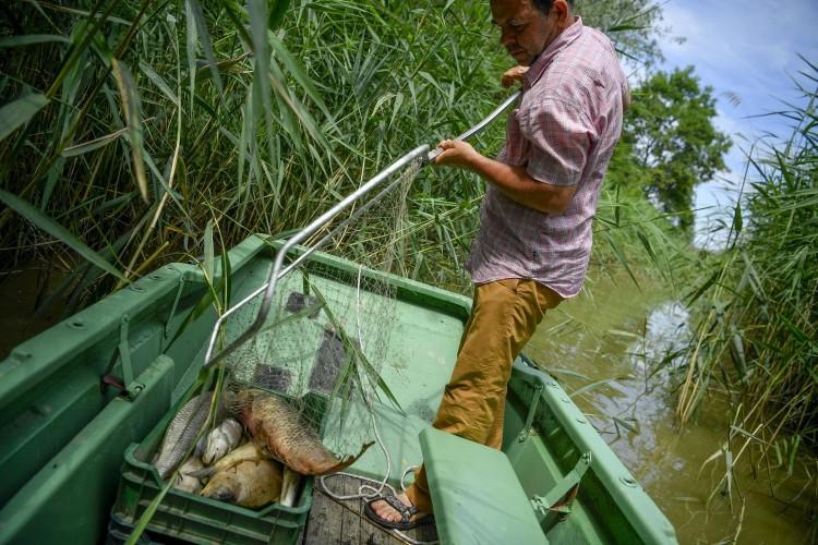 Halpusztulás a Hortobágy folyóban