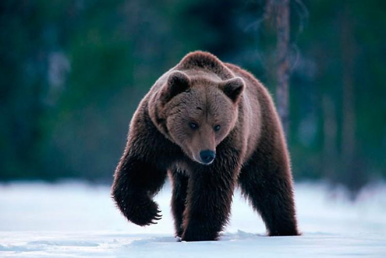 Medvék kószálnak Petőfibányán. Kerüljék a temető környékét!