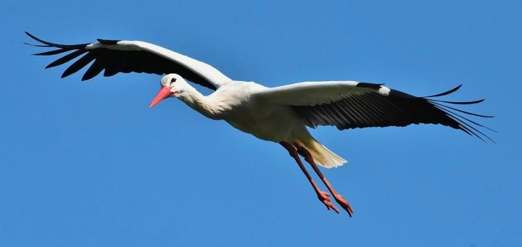 Megérkezett az első gólya Magyarországra. A februári hidegben!