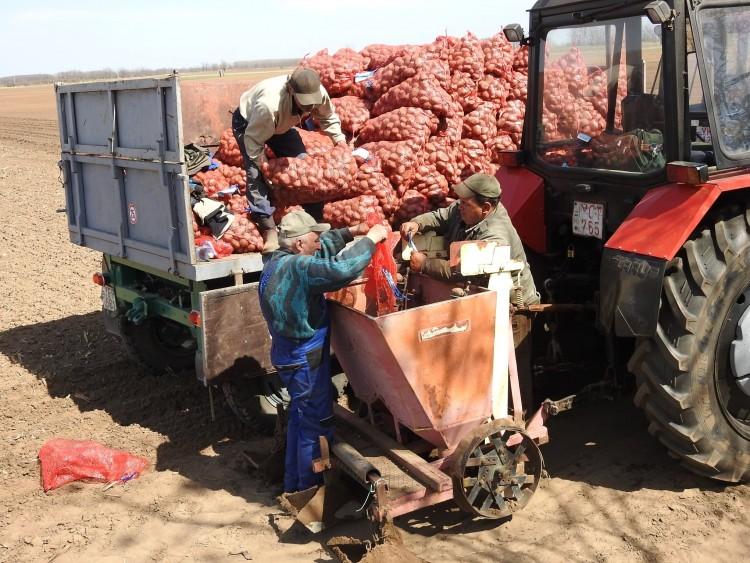A közösség asztalára termelnek burgonyát Hajdúhadházon