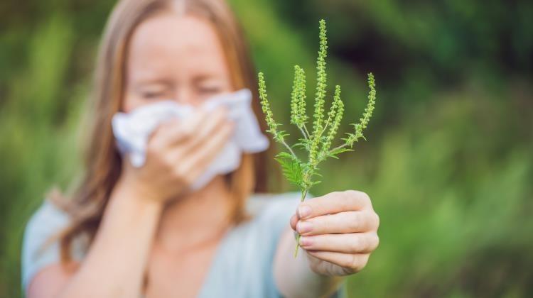 Rossz hír az allergiásoknak: Szabolcsban már találtak virágzó parlagfüvet