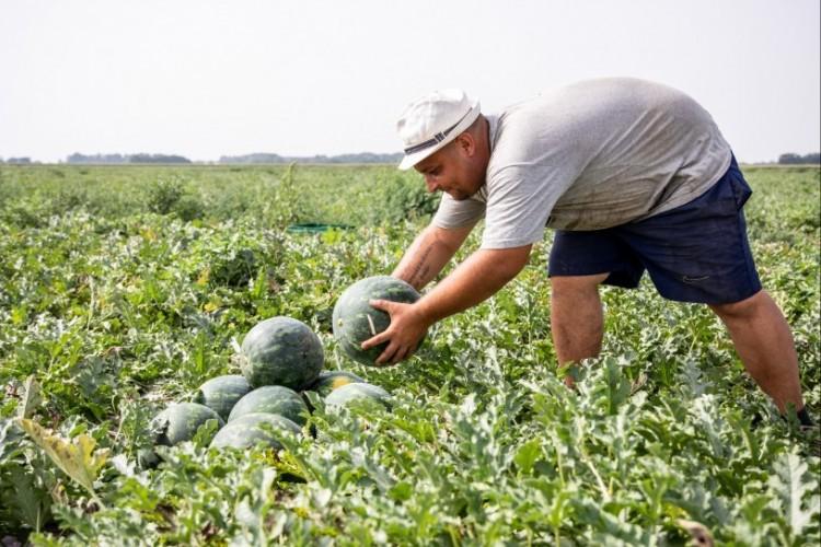 Betárcsázzák a dinnyét a hajdú-bihari termesztők