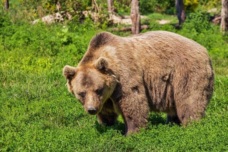 Közel 150 medvét lőhetnek ki Romániában