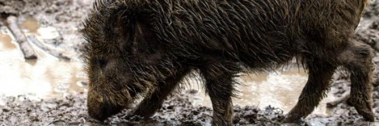 Sertéspestis. A horvátok sem kérnek magyar disznót