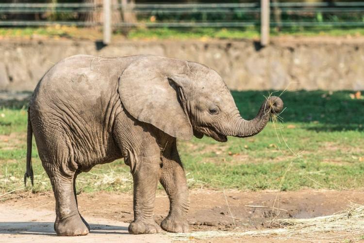Nevet kapott a Nyíregyházi Állatpark afrikai kis elefántja