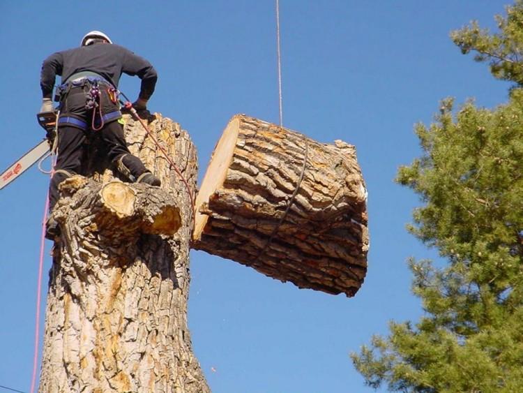 Megfiatalítják a nyíregyházi fasorokat