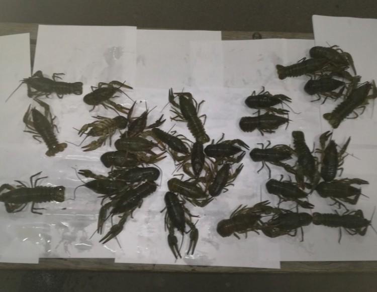 Kecskerákokat foglalt le a NAV Tiszabecsen