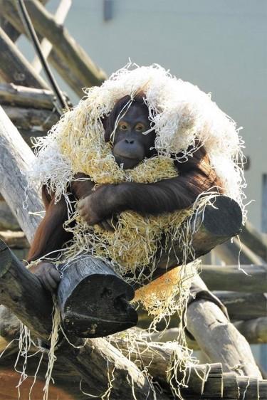 Koktélra váltott a nyíregyházi orángután