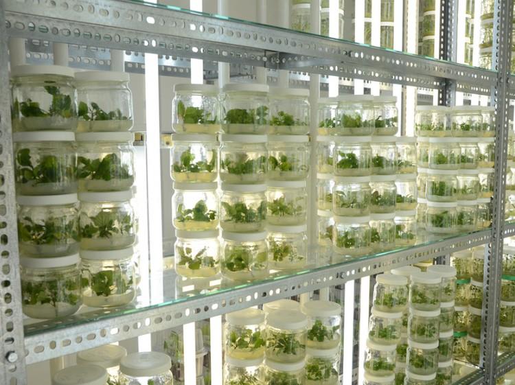 A Debreceni Egyetem kutatói ultrahanggal növesztik nagyobbra a krumplit