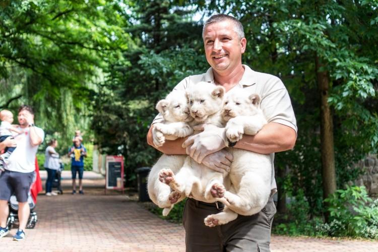 Igazi ritkaság: fehér oroszlánok születtek Nyíregyházán