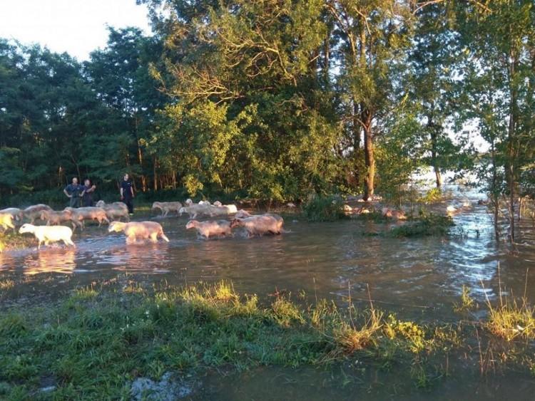 Háromszáz birka került a víz fogságába