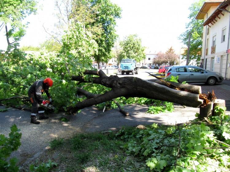 Veszélyes fát vágtak ki Nyíregyházán