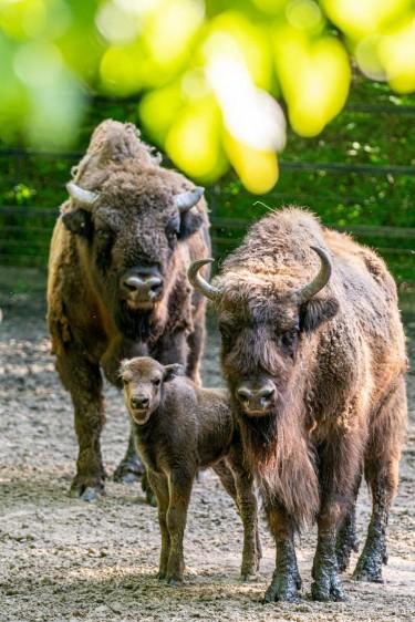 Szenzáció: európai és amerikai bölényborjú született Nyíregyházán