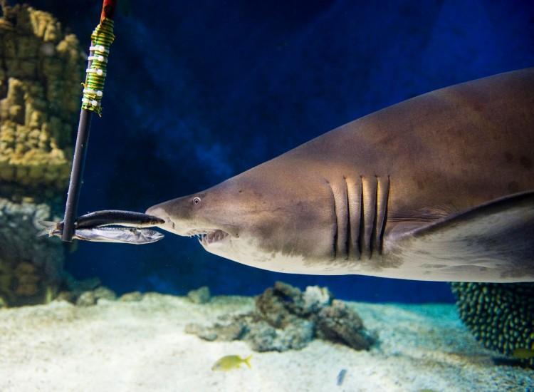 Kíváncsi a nyíregyházi cápák reggelijére?