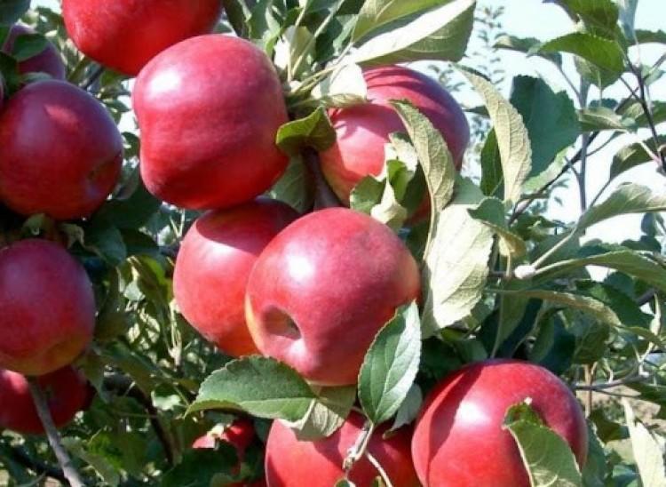 Tuzséri alma: uniós oltalomban részesült az elnevezés