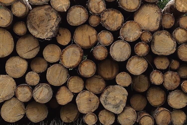 Kivágják az idős, száradó tölgyeseket a Sóstói-erdőben